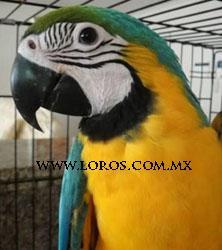 GUACAMAYA AZUL DORADO